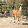 Lama standing on the ground — Stock Photo #11932753