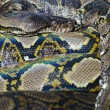 Python starring at the delicious photographer - Lizenzfreies Foto