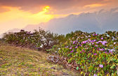 Stretch of rhododendron flowers in alpine meadow — Stock Photo