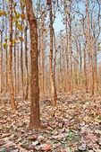 Trunks of teak trees — Stock Photo