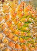 Kaktus kolorowy z zakończonymi ciernie — Zdjęcie stockowe