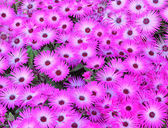 Cluster of ice plant flowers — Stock Photo