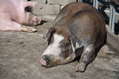 Snoozing Pigs — Stock Photo