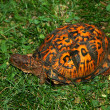 Box Turtle — Stock Photo #11012385