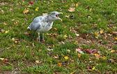 Squawking Gull — Stock Photo