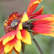 Macro flower of the field with the beetles - Stock Photo
