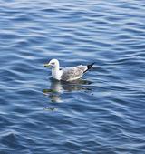 Su üzerinde martı — Stok fotoğraf