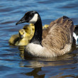 Canadian goose swimming with their young. - Stock Photo