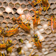Wasp Nest - Vespula Germanica — Stock Photo