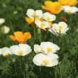 Stock Photo: White poppies