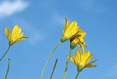 黄色のデイジーの花 — ストック写真