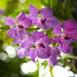 Vanda orchid — Stock Photo
