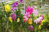 Colored orchids — Stock Photo