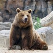 Looking at us smiling brown bear — Stock Photo