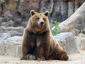 Looking at us smiling brown bear — Stock Photo