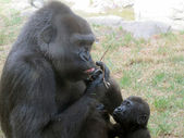 Gorilla with her baby eating grass — Stock Photo