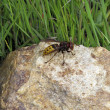 Wasp in stone — Stock Photo