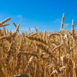Royalty-Free Stock Photo: Wheat field, wheat ears