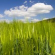 Barley in the sun — Stock Photo