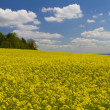 Field of yellow rapeseed — 图库照片