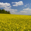 Field of yellow rapeseed — Stock Photo #10949345