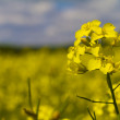Close up rapeseed — Stock Photo