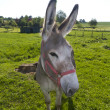 Donkey looking into camera — Stockfoto