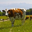 Cow in alps — Stock Photo #10949549