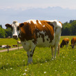 Stock Photo: Cow in alps