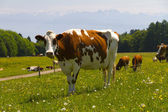 Cow in the alps — Stock Photo