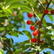 Cherry tree - Stock Photo