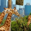 Three giraffes in zoo - Stock Photo