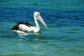 Australian pelican — Stock Photo