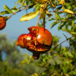 Stock Photo: Fruit of pomegranate