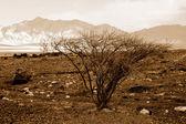 Acacia — Foto Stock