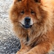 Chow-chow - Stock Photo