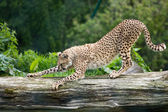 Cheetah scratching tree — Stock Photo