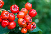 Wild red berries — Stock Photo