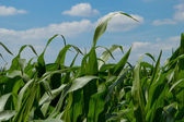 Cornfield sky — Stock Photo