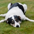 Tired farm dog — Stock Photo #10792412