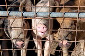 Pigs in cage — Stock Photo