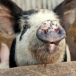 Funny pig talking - Stock Photo