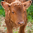 New born calf — Stock Photo