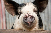 Pig face — Stock Photo