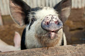 Funny pig talking — Stock Photo