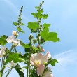 Stock Photo: White mallow