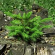 Stock Photo: Little pine tree on decayed stump