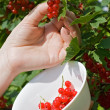 Woman's hand pick a bunch of redcurrant — Stockfoto #10781802