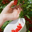 Woman's hand pick a bunch of redcurrant — Stockfoto