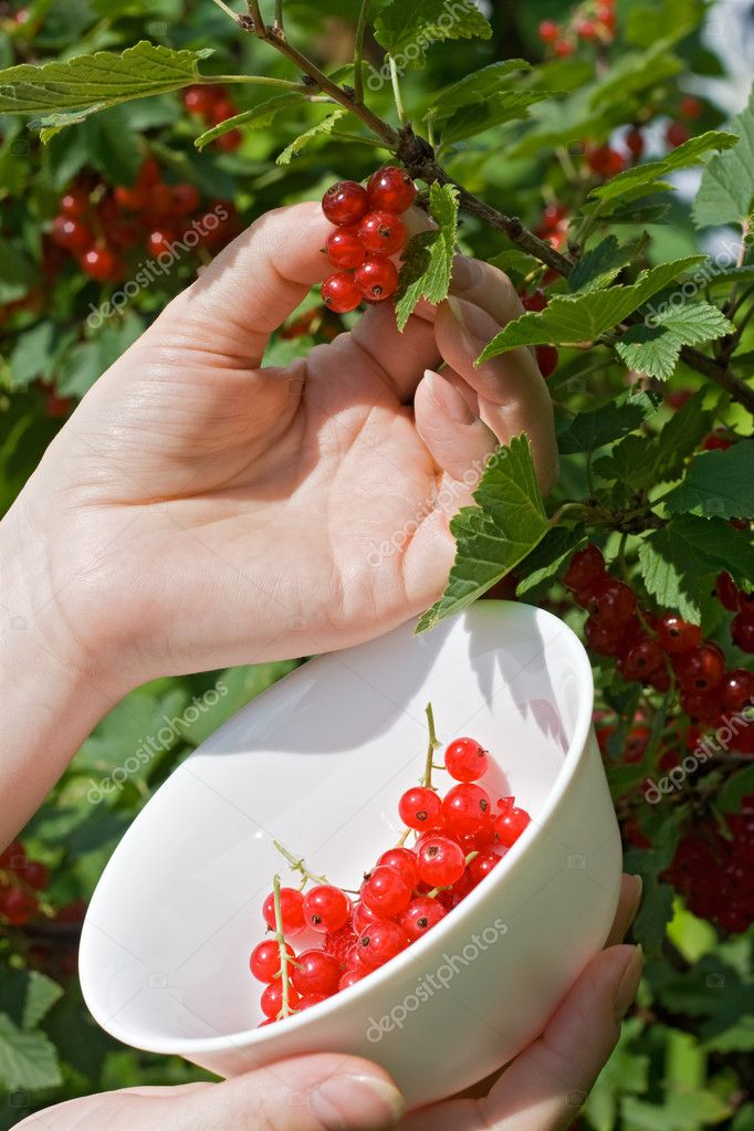 Woman's hand pick a bunch of redcurrant and put in the bowl — Stock Photo #10781802